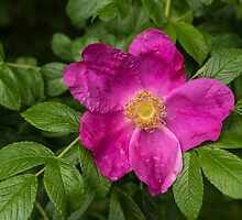 Dog Rose by alan tunnicliffe