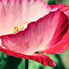 Red Poppy in Sunlight by micklyn