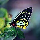 Fluorescent Birdwing by James McKenzie
