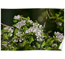 White Apple Blossoms 1 Poster