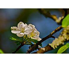White Apple Blossoms 2 Photographic Print