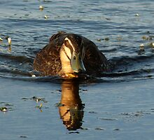 Pacific Black Duck - At Speed by stevealder