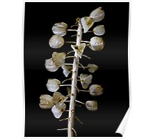 Grape Hyacinth Seed Pods Poster