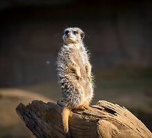 Ferret by Sebastian Chalupa