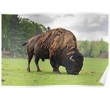 Grazing buffalo Poster