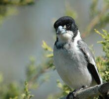 Grey Butcher Bird (2) Sticker