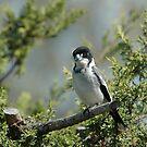 Grey Butcher Bird (2) by Trevor Needham