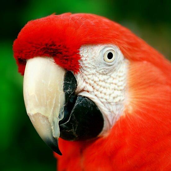 Scarlet Macaw by Damienne Bingham