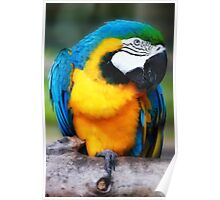Blue and Yellow Macaw Poster