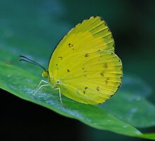 Grass Yellow  ( Eurema hecabe )  -  Cairns  FNQ by john  Lenagan