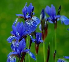 Blue Flower in the Rain by Marion Sauer