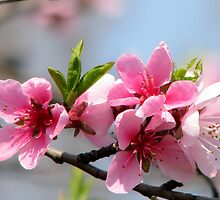 Peach Blossom in Romania - throw pillow by Dennis Melling