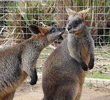 Wallaby Kiss - Halls Gap by Andrew Dodds