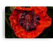 orange poppy covered with raindrops Canvas Print