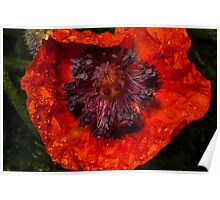 orange poppy covered with raindrops Poster