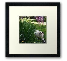 """On The Hunt"" Blue Eyed Lynx Siamese Framed Print"