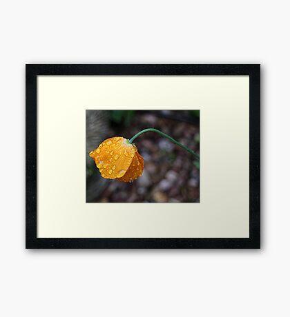 Poppy in the rain Framed Print