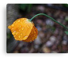 Poppy in the rain Canvas Print