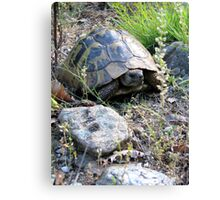 Wild Eastern Hermann's Tortoise  in Romania Canvas Print