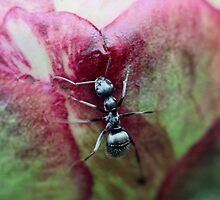 Ants and Peonies by Keala