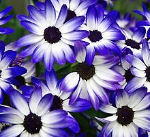 Blue Senetti by Susie Peek