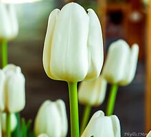 WHITE TULIPS by pjm286