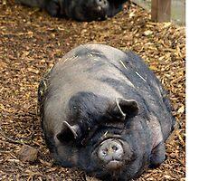Sleeping Pot Bellied Pigs by StusPlaice