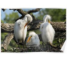 Young Egrets Poster