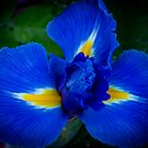 Iris by Keith G. Hawley
