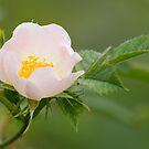 Field-rose by Neil Bygrave (NATURELENS)