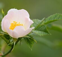 Field-rose by Neil Bygrave (NATURELENS)