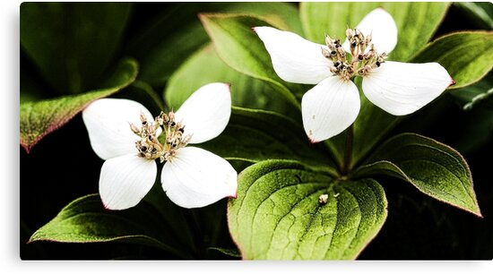 Bunchberry - Two Blossoms by T.J. Martin