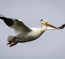 White Pelican 2016-2 by Thomas Young