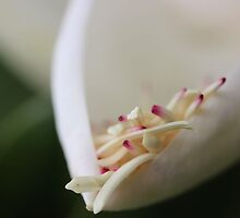 Magnolia Flower by aprilann