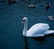 Scottish Swan by jcwoody