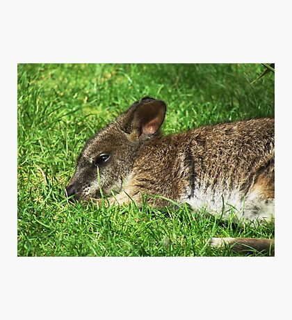 Parma Wallaby Photographic Print