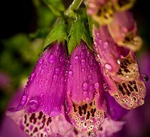 Digitalis purpurea with raindrops by stresskiller
