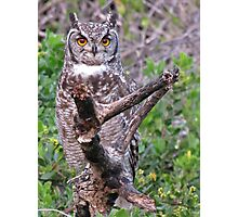 Bubo africana - Spotted Eagle Owl Photographic Print
