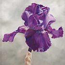 Purple Iris by Charlotte Yealey