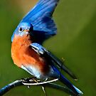 Saluting the February Sun - Male Eastern Bluebird on Red Maple Tree by Janice Carter