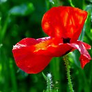 The 1st Poppy by mikebov