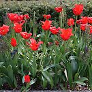 The Last of the Tulips by Loisb