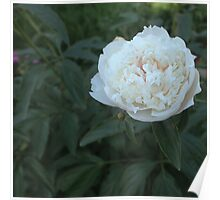 Colorful Peony  Poster