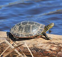Western Painted Turtle by Rochelle Smith