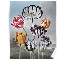 Robert John Thornton - Tulips. Still life with flowers:  bouquet, flowers, bumblebee , carnations, peonies, roses, tulips,  marigolds,  life, garden, blossom Poster