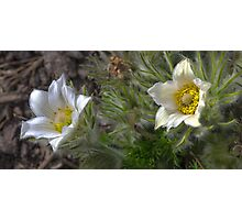 two white blossoms Photographic Print