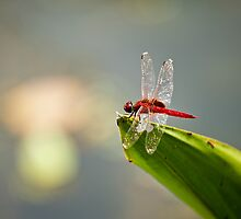 Red dragonfly  by 3523studio