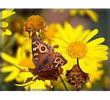 Butterfly blessing - Meadow Argus Photographic Print