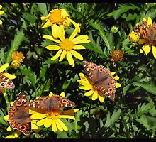 A kaleidoscope of Butterflies by outbackjack