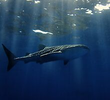 Whale shark  by 3523studio